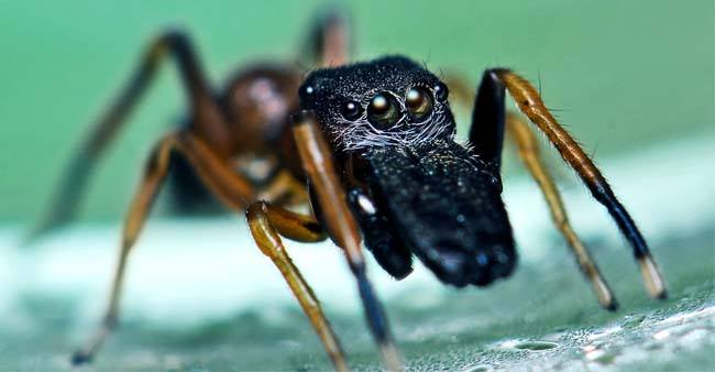 This Species of spider produces milk which is healthier and nutritious than cow's