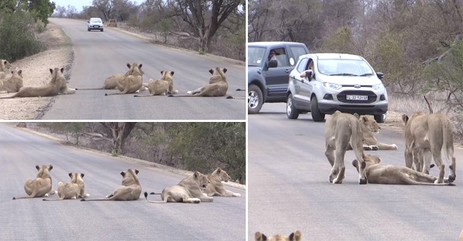 Lions of Krugar Park and Sabi Sand are freely walking on streets of South Africa, video goes viral