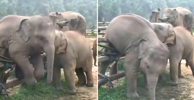 Elephant Tries Best To Help Out Its Friend In This Video; Fans Say 'Yeh Dosti Hum Nahi Todenge'